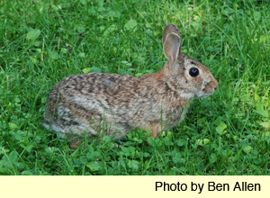 eastern cottontail 2