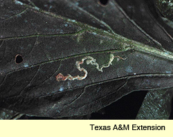 leaf miner damage